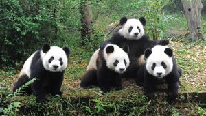 Bucket List Trip - Meeting the Pandas in China