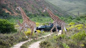 Near Mossel Bay - 5* Gondwana Private Game Reserve - 2 Nights