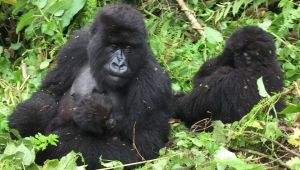 Rwanda 3 Night Group Safari -  Kigali and Gorillas - Valid: 19 to 24 Mar.21