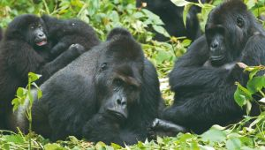 Gorilla & Game Trek - 15 Days - 2 FOR 1 Offer
